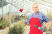 Gardener holding rose — Stock Photo