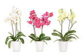 Three blooming orchids in pots   — Stock Photo