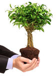 Hand holding a plant Ficus Benjamin — Stock Photo