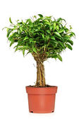 Ficus Benjamina in pot — Stock Photo