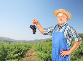 Winemaker holding cluster of wine grapes — Stock Photo