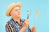 Farmer looking at wheat straw — Stock Photo