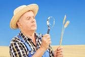 Farmer examining his harvested wheat — Stock Photo