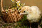 Poult — 图库照片