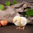 Baby chick with egg shell — Stock Photo #45946063