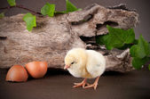 Baby chick with egg shell — Stock Photo