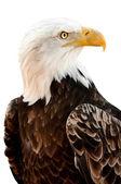 Amerikanska skallig örn — Stockfoto