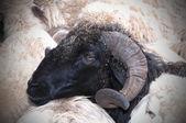 Canarian goat — Stock Photo
