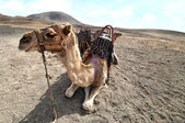Camel in the Canarian island, Lanzarote  — Stock Photo