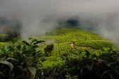 Tea fields in mist — Stock Photo