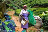 Indian women picking tea leaves — ストック写真