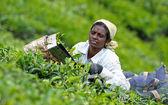 Indian women picking tea leaves — Stock Photo