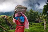 Mujeres indias recogiendo las hojas de té — Foto de Stock