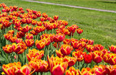Field of yellow-red tulips in the park — Foto de Stock