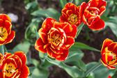 Close-up of yellow-red tulips in the park — Foto de Stock