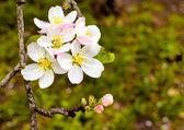 Flor de maçã — Foto Stock