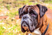 Close-up of a boxer — Stockfoto