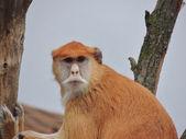 Hussardo de macaco — Foto Stock