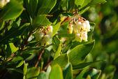 Bearberry — Photo