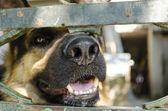 Nez de chien — Photo