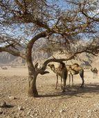 Desert camel — Stock Photo
