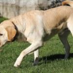 Labrador — Stock Photo #45737741
