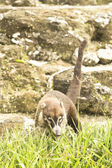 Coati at the ruins of Tikal — Foto Stock