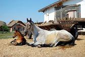 Mentira de caballo — Foto de Stock