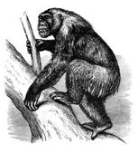 Afrikanischer gorilla — Stockfoto