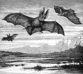 Long Eared Bats — Stock Photo