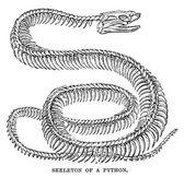 Python skeleton — Stock Photo