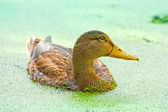 Duck Swimming With Duckweed in the pond — 图库照片