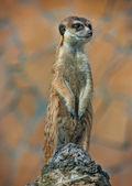 Alert Suricate or Meerkat Suricata standing to lookout — Stock Photo