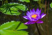 Purple Lily — Stock Photo