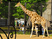 Giraffe Samson Galetovic Leningradov in Moscow zoo — Stock Photo