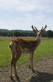Sika deer standing on the meadow — Photo