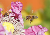 Bee flies to a flower — Stock Photo