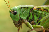 Portrait of grasshopper — Stock Photo