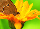 Butterfly with proboscis sitting on a flower — Stock Photo