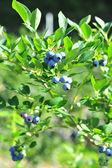 Blueberry plant on nature sunrise background — Stock Photo