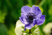 Blue anemone against green background — Foto de Stock