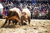 Bullfighting Festival Cheong-do — Stock Photo