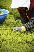 People working at  Boseong Green Tea Field — Stock Photo