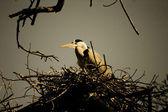 Migratory cranes — Stock Photo