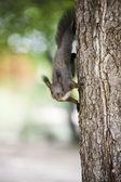 Eichhörnchen — Stockfoto