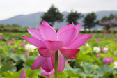 Lotus in the pond — Stock Photo