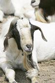 Goat — Zdjęcie stockowe
