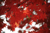 Feuilles d'érable en automne — Photo
