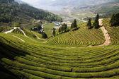Boseong Green Tea Field — Stock Photo