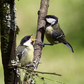 Great tits, juvenile and adult — Zdjęcie stockowe